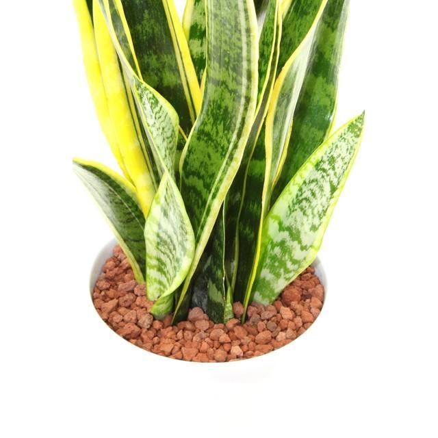 観葉植物 サンスベリア (サンセベリア) 高さ約52cm 陶器鉢ホワイト|worldgarden|03
