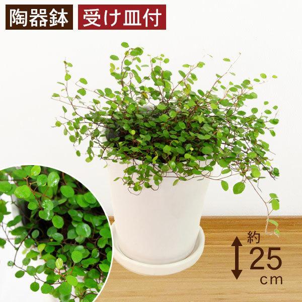 観葉植物 ワイヤープランツ 高さ約25cm 陶器鉢ホワイト worldgarden