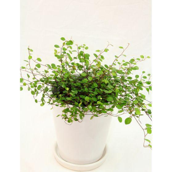観葉植物 ワイヤープランツ 高さ約25cm 陶器鉢ホワイト worldgarden 02