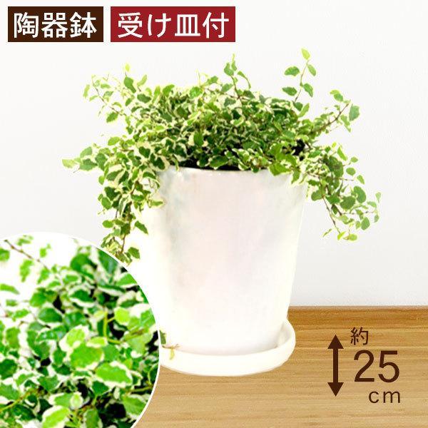 観葉植物 フィッカスプミラ 高さ約25cm 陶器鉢ホワイト|worldgarden