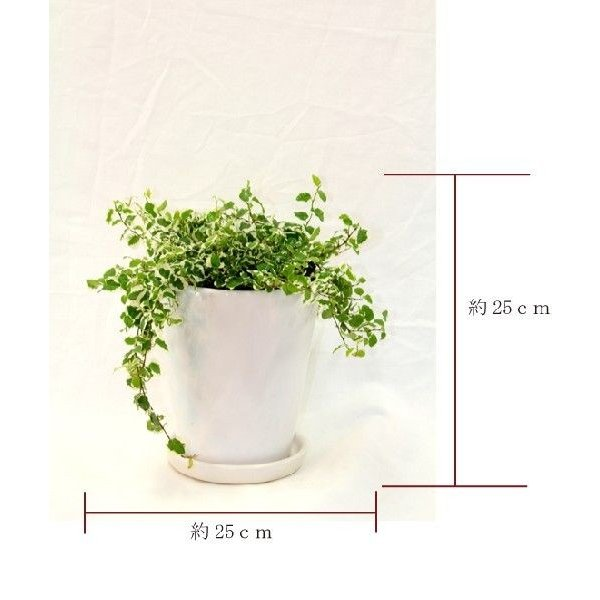 観葉植物 フィッカスプミラ 高さ約25cm 陶器鉢ホワイト|worldgarden|02