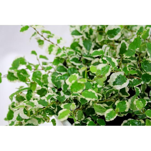 観葉植物 フィッカスプミラ 高さ約25cm 陶器鉢ホワイト|worldgarden|03