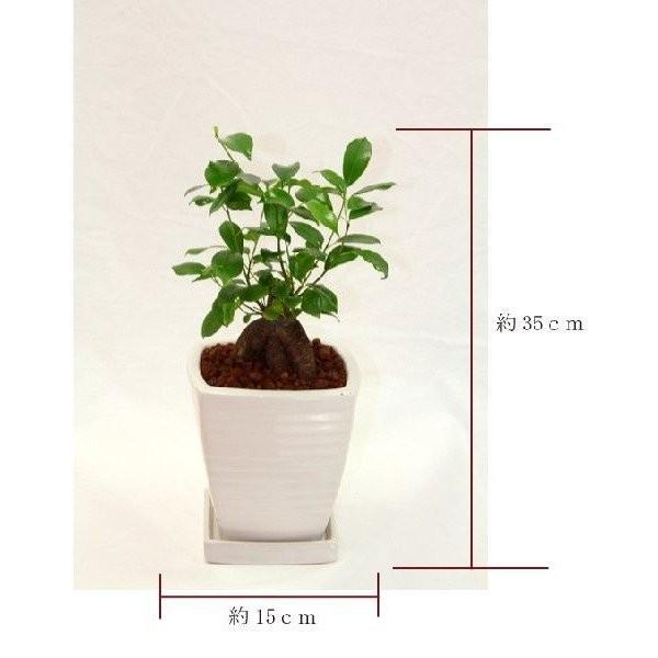 観葉植物 ガジュマル 高さ約35cm 陶器鉢ホワイト worldgarden 02