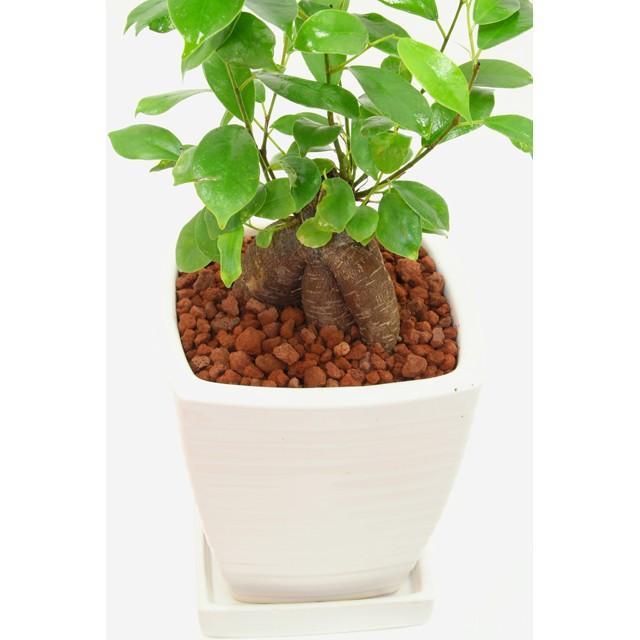 観葉植物 ガジュマル 高さ約35cm 陶器鉢ホワイト worldgarden 03