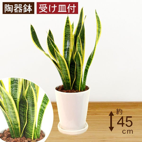 観葉植物 サンスベリア (サンセベリア) 高さ約45cm 陶器鉢ホワイト|worldgarden