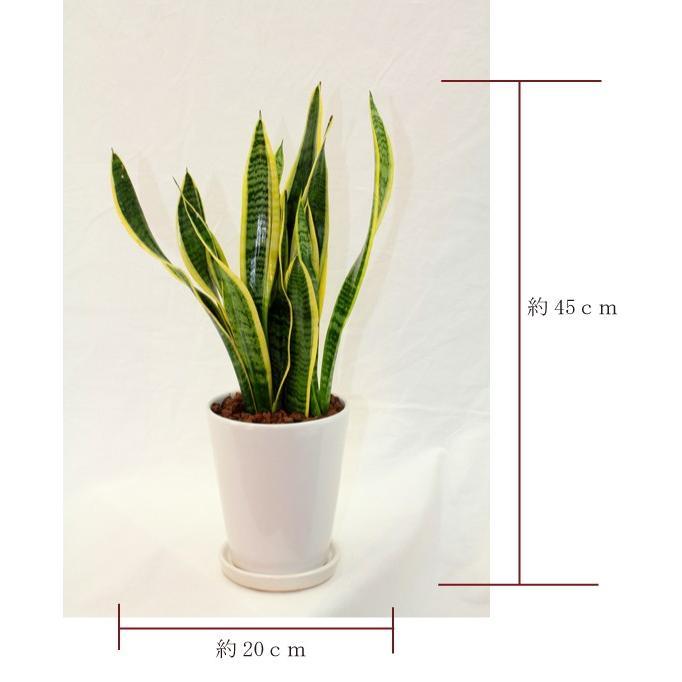 観葉植物 サンスベリア (サンセベリア) 高さ約45cm 陶器鉢ホワイト|worldgarden|02