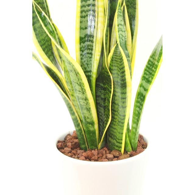 観葉植物 サンスベリア (サンセベリア) 高さ約45cm 陶器鉢ホワイト|worldgarden|03