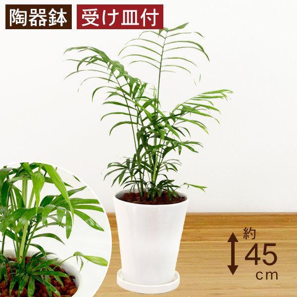 観葉植物 テーブルヤシ(チャメドレア・エレガンス) 高さ約45cm 陶器鉢ホワイト worldgarden