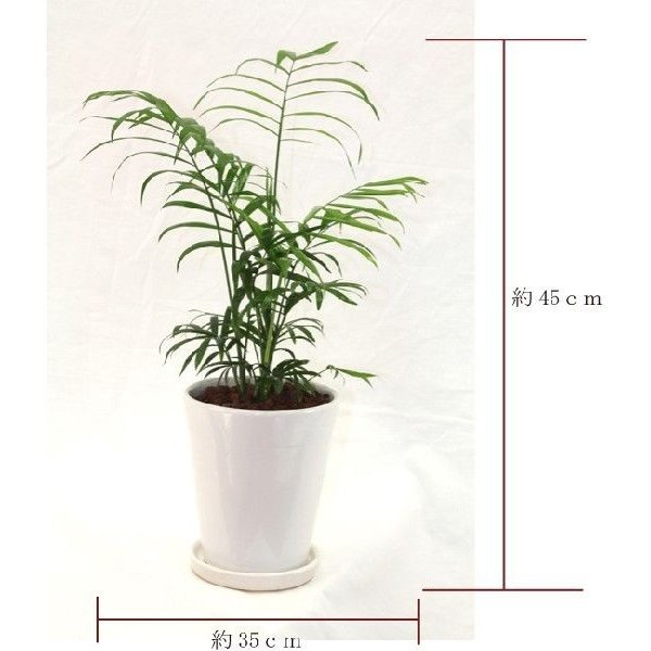 観葉植物 テーブルヤシ(チャメドレア・エレガンス) 高さ約45cm 陶器鉢ホワイト worldgarden 02