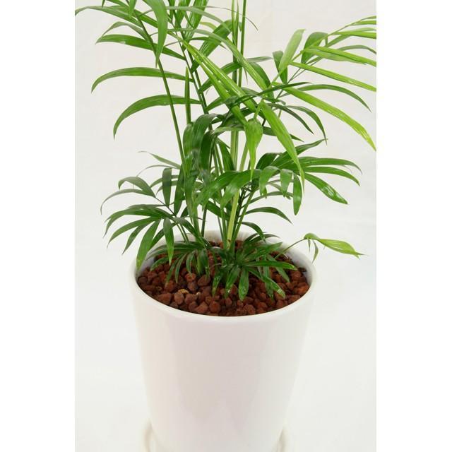 観葉植物 テーブルヤシ(チャメドレア・エレガンス) 高さ約45cm 陶器鉢ホワイト worldgarden 03