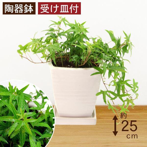 観葉植物 アイビー青 高さ約25cm 陶器鉢ホワイト worldgarden