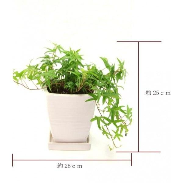 観葉植物 アイビー青 高さ約25cm 陶器鉢ホワイト worldgarden 02