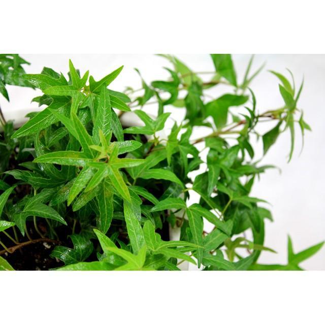 観葉植物 アイビー青 高さ約25cm 陶器鉢ホワイト worldgarden 03