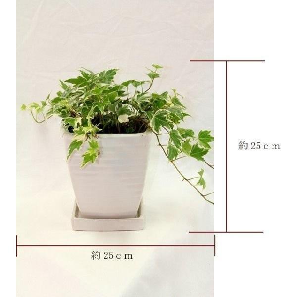観葉植物 アイビー斑入り 高さ約25cm 陶器鉢ホワイト|worldgarden|02