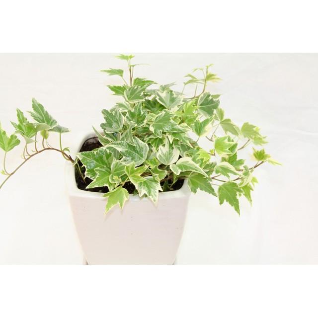 観葉植物 アイビー斑入り 高さ約25cm 陶器鉢ホワイト|worldgarden|03
