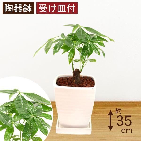 観葉植物 パキラ 高さ約35cm 陶器鉢ホワイト|worldgarden