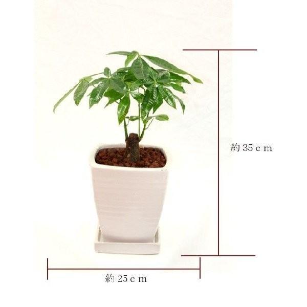 観葉植物 パキラ 高さ約35cm 陶器鉢ホワイト|worldgarden|02