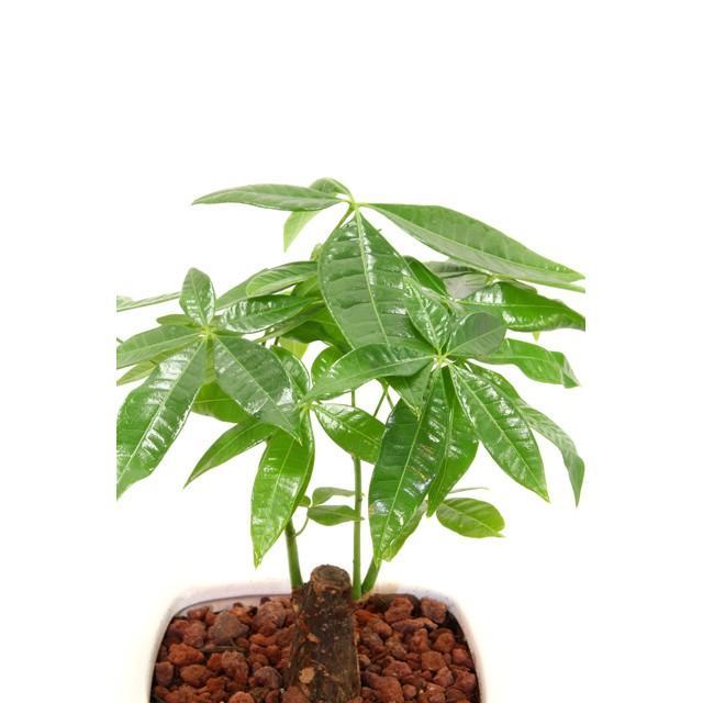 観葉植物 パキラ 高さ約35cm 陶器鉢ホワイト|worldgarden|03