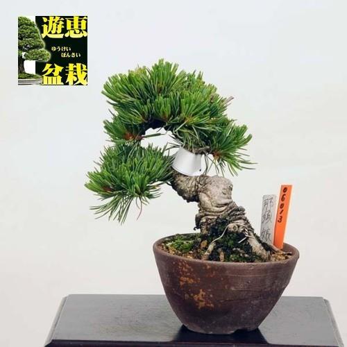 ミニ盆栽:五葉松(那須娘)【現品】*☆特典付き☆ Goyoumatsu【送料無料】