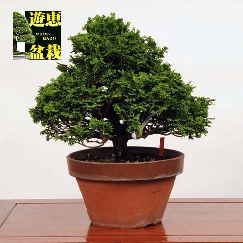 中品盆栽:津山桧(現品)*(特典付き)つやまひのき