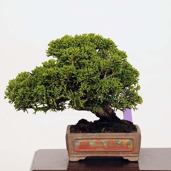 ミニ盆栽:特選糸魚川真柏*現品 しんぱく シンパク Shinpaku  送料無料