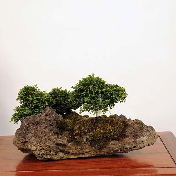 中品盆栽:特選津山桧(ひのき)石付 現品* ヒノキ hinoki  送料無料