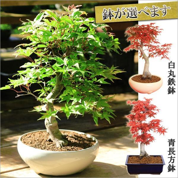 定番キャンバス 流行のアイテム 盆栽:特選極太出猩々もみじ 鉢が選べる 鉢植え bonsai プレゼント 紅葉狩り