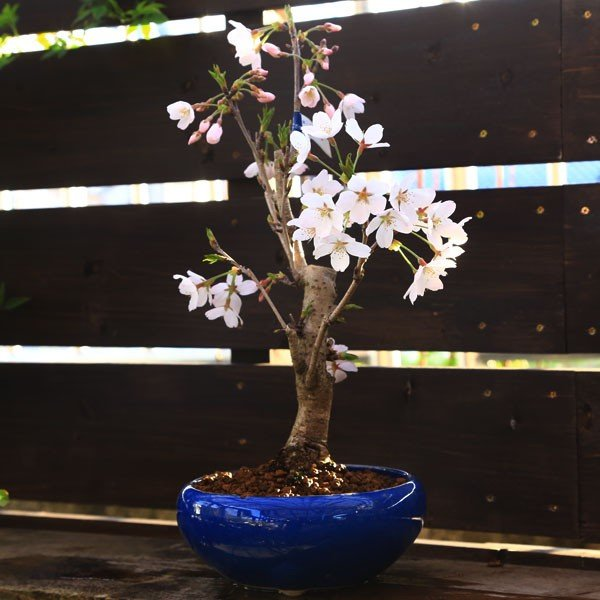 桜盆栽:特選染井吉野桜 瀬戸焼青鉢*(2021年春開花終了) bonsai|y-bonsai