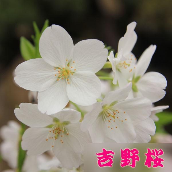 桜盆栽:特選染井吉野桜 瀬戸焼青鉢*(2021年春開花終了) bonsai|y-bonsai|02