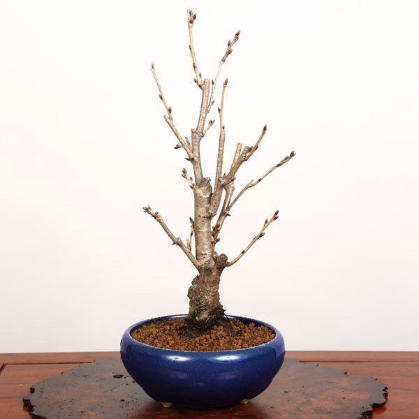 桜盆栽:特選染井吉野桜 瀬戸焼青鉢*(2021年春開花終了) bonsai|y-bonsai|03