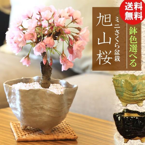 桜盆栽 鉢色選べる:ミニ一才桜(旭山桜)*(信楽花型小鉢)鉢植え 鉢花 (2021年春開花予定)|y-bonsai