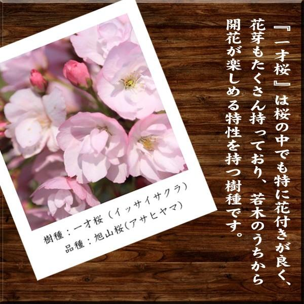 桜盆栽 鉢色選べる:ミニ一才桜(旭山桜)*(信楽花型小鉢)鉢植え 鉢花 (2021年春開花予定)|y-bonsai|03