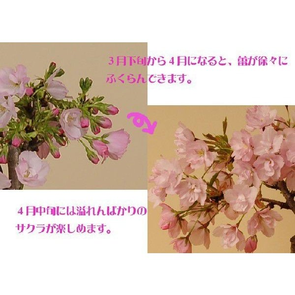 桜盆栽 鉢色選べる:ミニ一才桜(旭山桜)*(信楽花型小鉢)鉢植え 鉢花 (2021年春開花予定)|y-bonsai|04