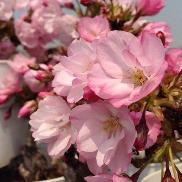 桜盆栽 鉢色選べる:ミニ一才桜(旭山桜)*(信楽花型小鉢)鉢植え 鉢花 (2021年春開花予定)|y-bonsai|05
