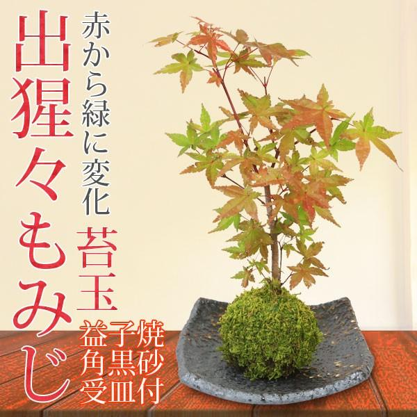 お買い得品 苔玉:出猩々もみじ 賜物 益子焼角黒砂受け皿付 bonsai