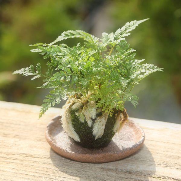 苔玉:シノブ 正規販売店 受け皿付 納涼bonsai 未使用品