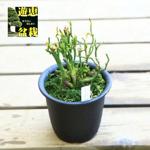 古典園芸植物:松葉蘭 マツバラン 新着 価格 麒麟角