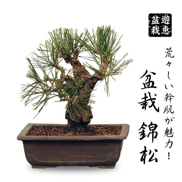 流行のアイテム 小品盆栽:錦黒松 新作アイテム毎日更新 bonsai