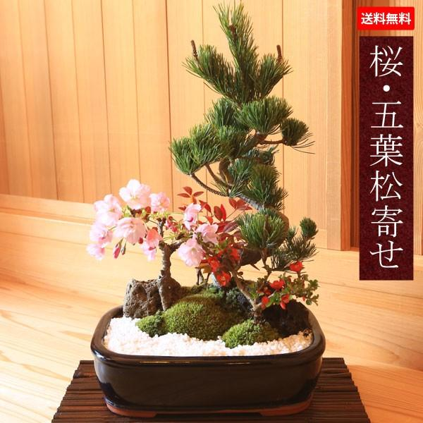 敬老の日ギフトにも盆栽:桜 定価 五葉松寄せ植え 当店は最高な サービスを提供します 2021年開花終了 鉢植え 寄せ植え祝いgift bonsai 春 誕生日祝 プレゼント 御祝