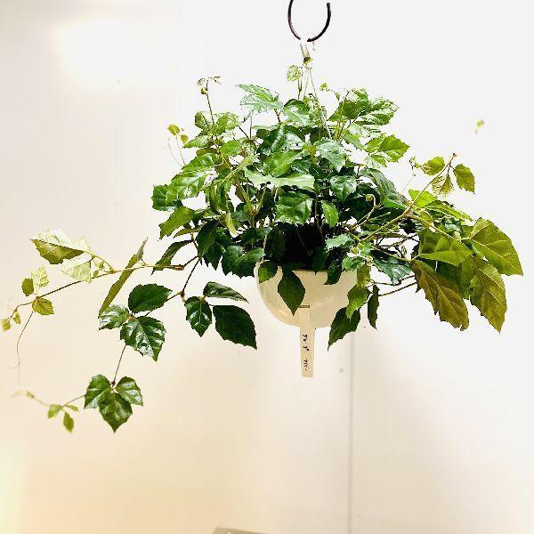 おしゃれ 観葉植物:シッサス 安売り グレープアイビー 吊り 6号 直輸入品激安