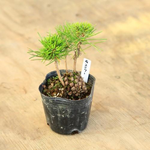 おすすめ 盆栽苗:松ぼっくり お値打ち価格で
