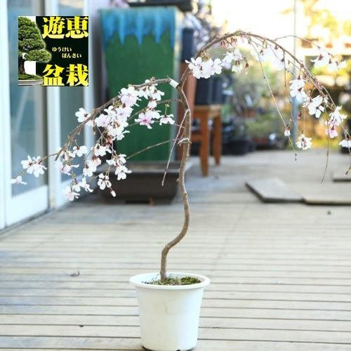 メーカー在庫限り品 新商品!新型 苗 庭木:しだれ富士桜