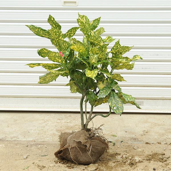 在庫一掃売り切りセール 完売 庭木:斑入アオキ