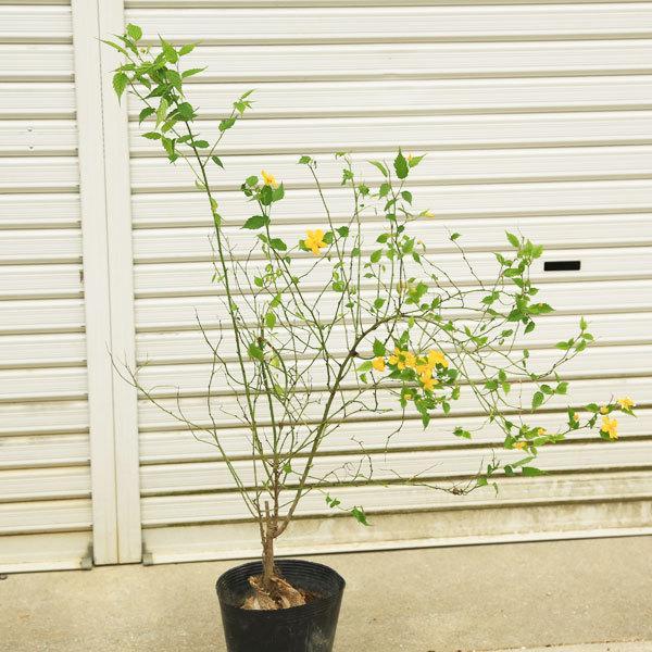 正規品 庭木:ヤマブキ 山吹 超美品再入荷品質至上 黄色一重
