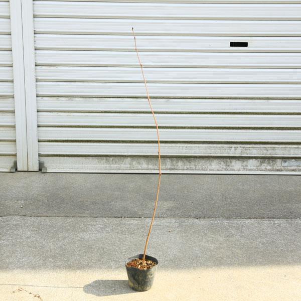 数量は多 苗 全品最安値に挑戦 庭木苗:シラカバ 白樺 ジャクモンティ― 樹高:約120cm しらかば