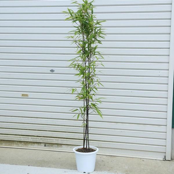超人気 庭木:黒竹 くろちく 樹高:100cm 佐川急便発送 全高120cm 安売り