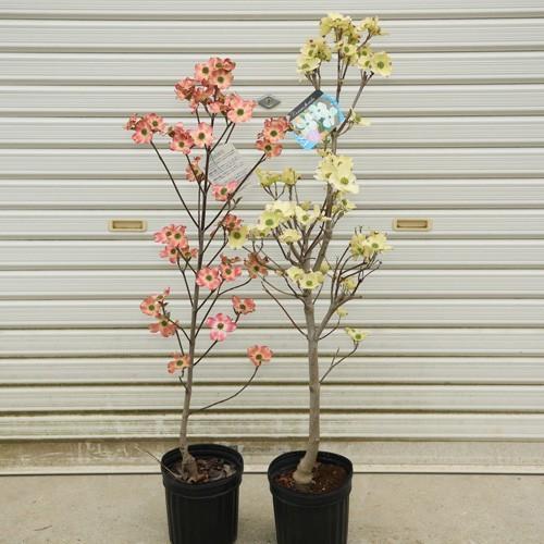 画像 ハナミズキ ハナミズキは4月が開花時期の庭木【花の魅力や育て方のコツも解説します】