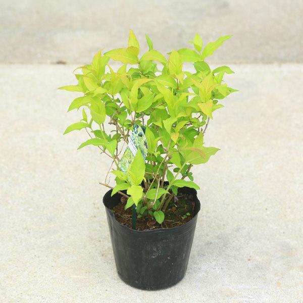 キャンペーンもお見逃しなく 受注生産品 庭木 植木:ディエルヴィラ ハニービー ミツバチも大好きなお花 バタフライガーデンの蜜源植物に