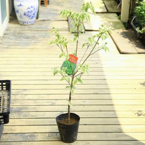 全品送料無料 庭木 植木苗:ヤマボウシ 樹高60cm ウルフアイ 売れ筋ランキング