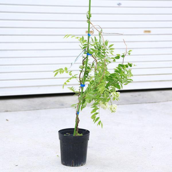 特価品コーナー☆ 庭木 超美品再入荷品質至上 植木:アメリカフジ ニベア アメリカ藤 白花